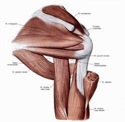 spalla vista dorsale