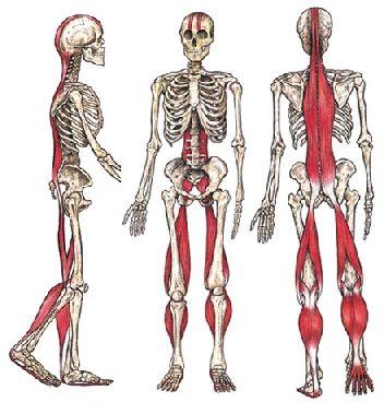 fisiologia muscolare