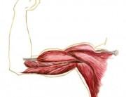 muscolo agonista